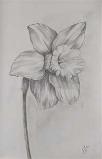 Dafodil sketch by Luna Smith.jpg