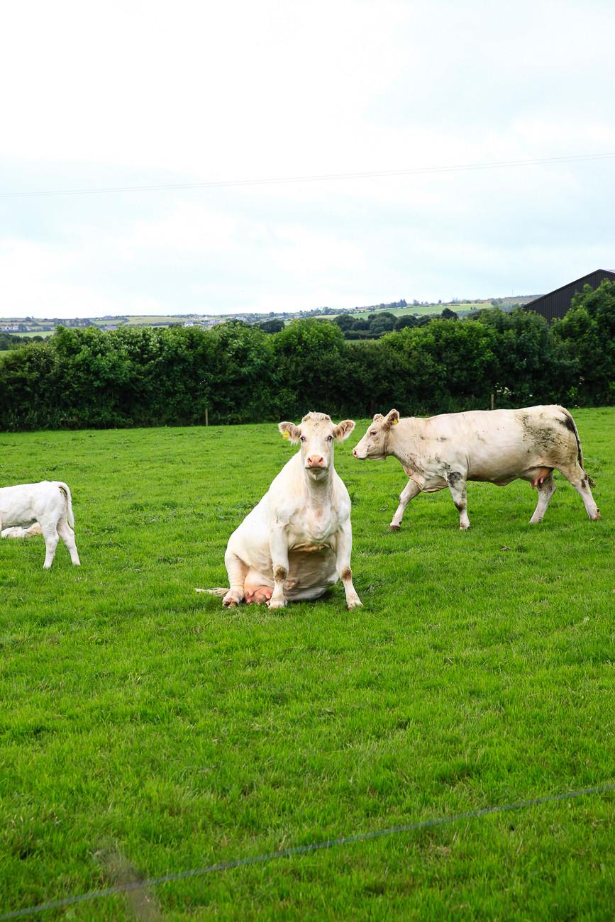 vaches, Irlande