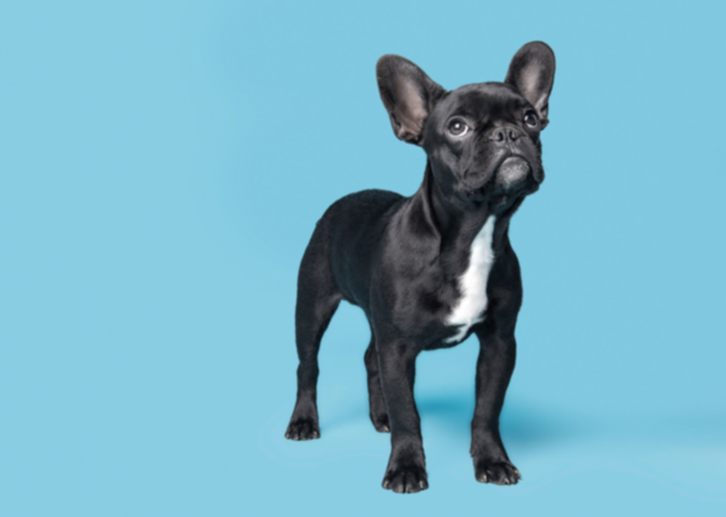 dog, french bulldog, frenchie
