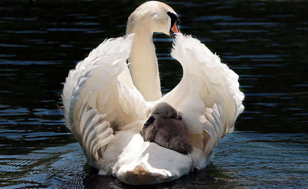The original swan boat