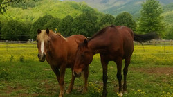 Horses in the lush green