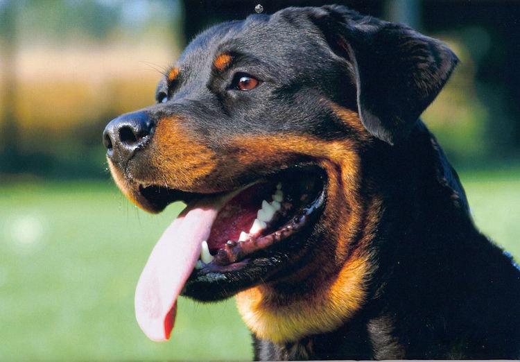 Rottweiler_kopf_2.jpg