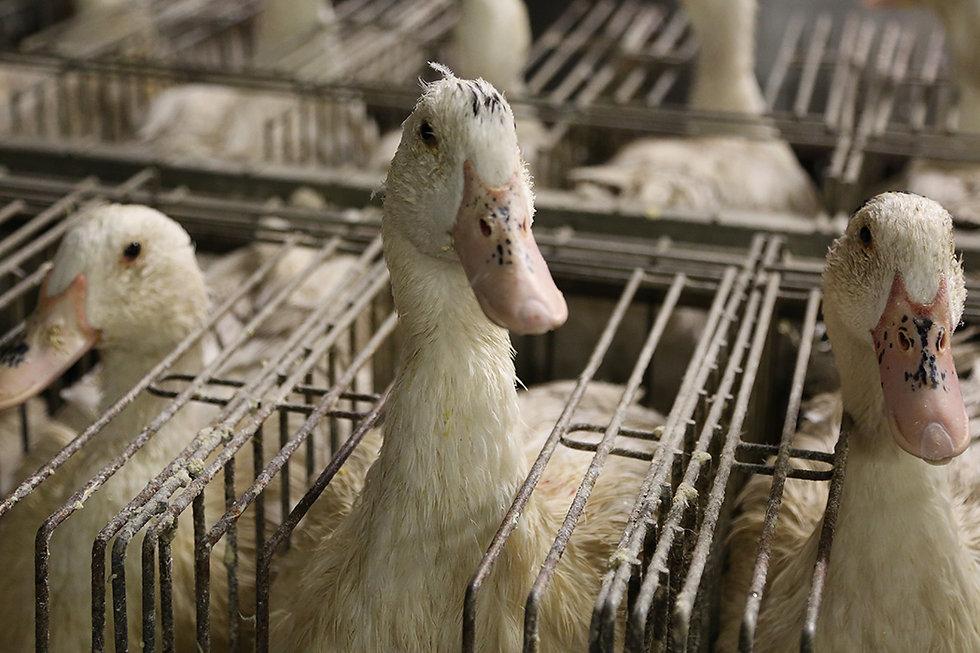 new_york_city_bans_foie_gras_1050x700.jp