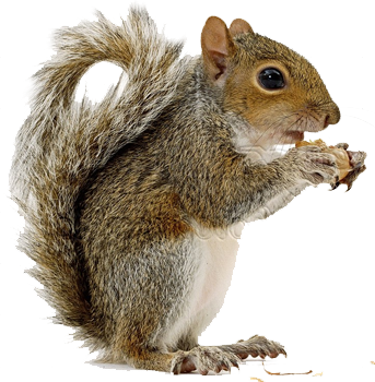 squirrel-png-squirre-png-squirrel-hd-png
