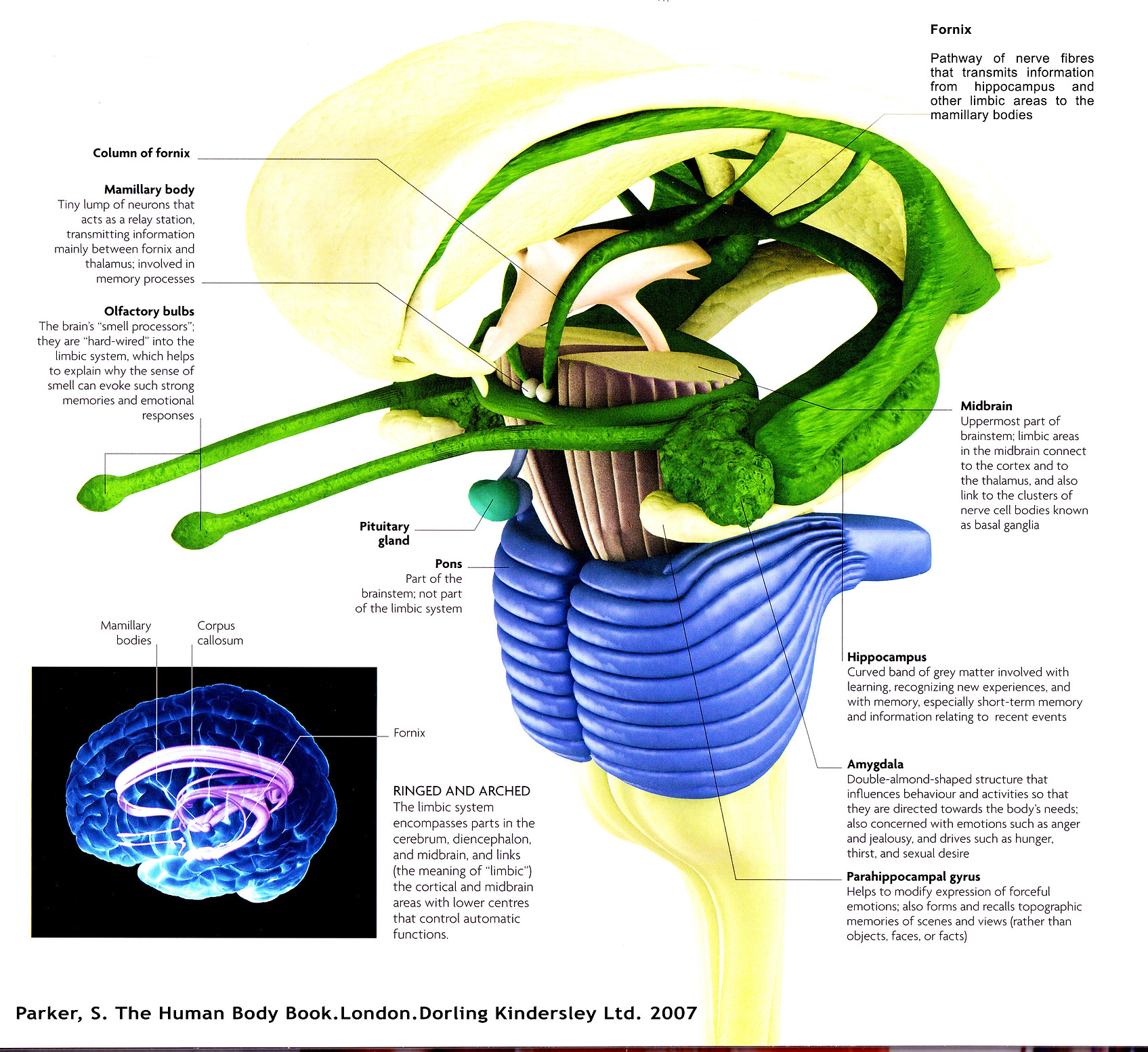 limbic-system-with-olfactory.jpg