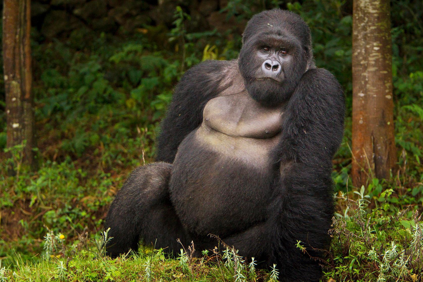 eastern-gorilla-endangered.jpeg