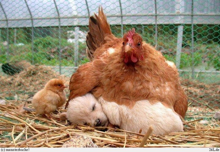 Hen-Adopt-Puppy-Funny-Situations-Picture