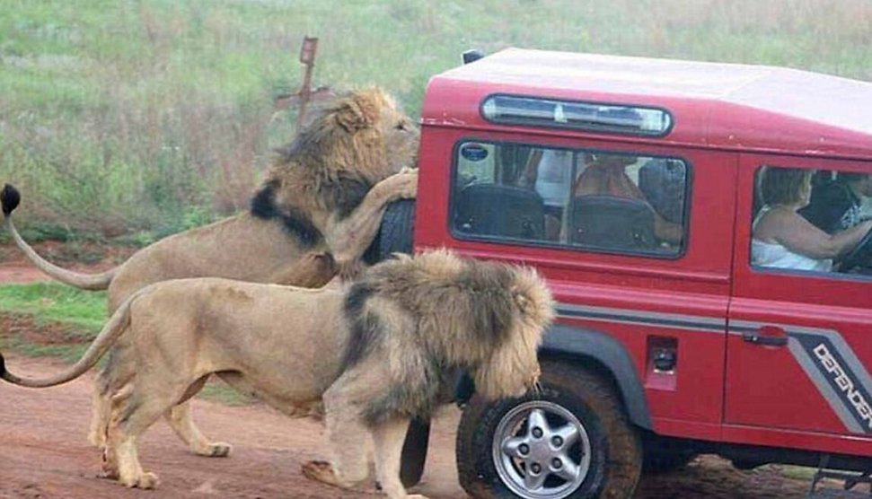Funny-Lions-Safari-Situations-Picture.jp