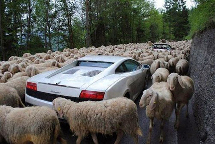 Funny-Sheeps-Traffic-Situations-Picture.