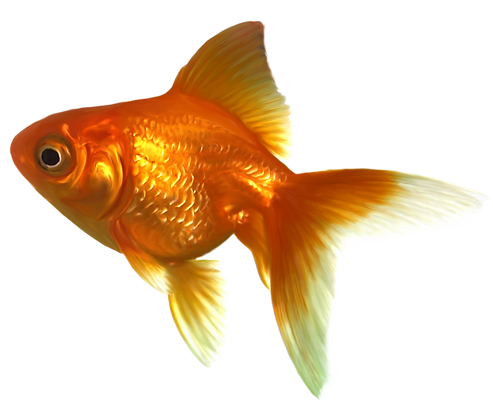 Realistic_Goldfish_PNG_Clipart-445.png