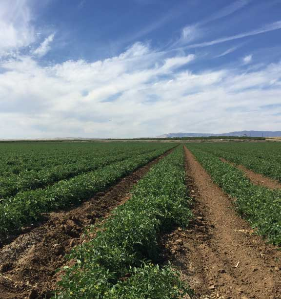 California Tomato Field