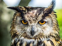 Pop Owen Eurasian Eagle Owl - Mike Parso