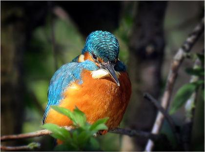 JB Kingfisher.jpg