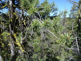 Conservation and Management of Whitebark Pine Ecosystems