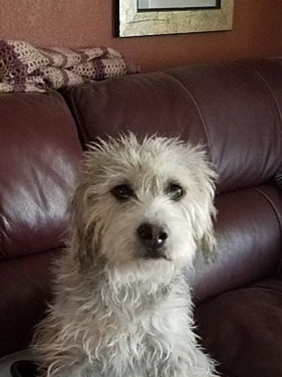 Hanai | Wirehaired Fox Terrier Mix | Adult