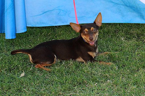 Harper   Chihuahua Mix   Young