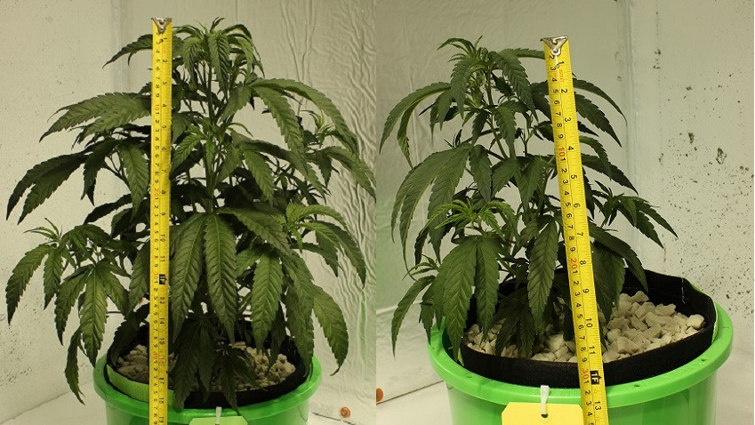 Cannabis plants fed with fulvic acid (at left) grew taller than ones that didn't receive the supplement. (Photos not to scale.)