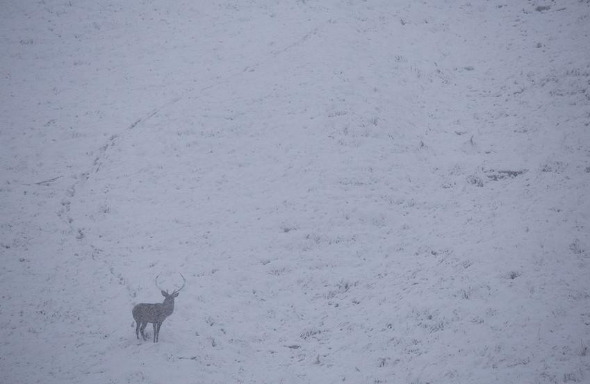 """Cervo """"sorpreso"""" da una prestiva debole nevicata di fine settembre, in pieno periodo di bramito, Parco Nazionale Dolomiti Bellunesi settembre 2020"""