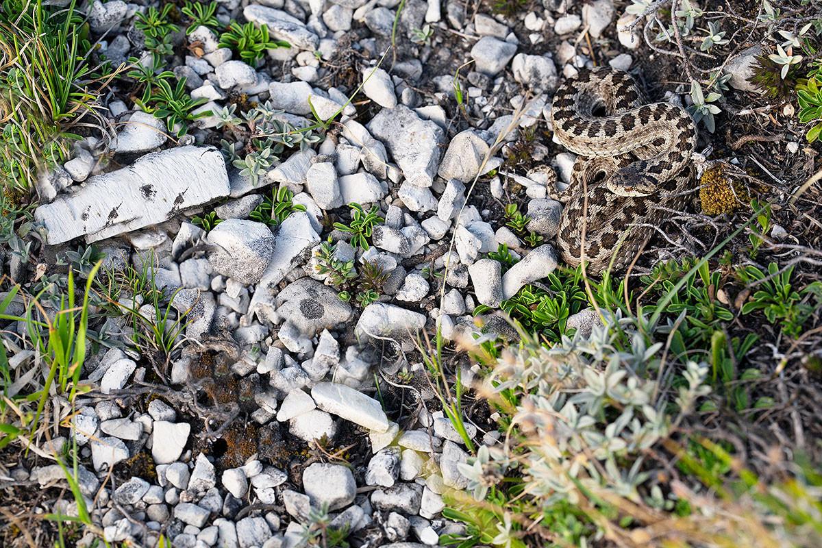 Vipera dell'Orsini, Parco Nazionale del Gran Sasso luglio 2019
