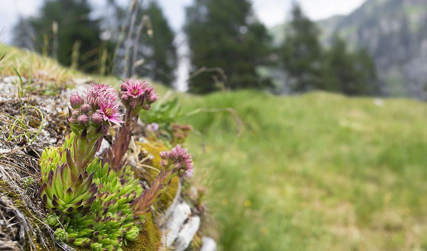 Il Sempervivum dolomiticum è una pianta endemica presente solo in assai ristrette zone del Veneto e del Trentino Alto Adige, Parco Nazionale Dolomiti Bellunesi luglio 2019