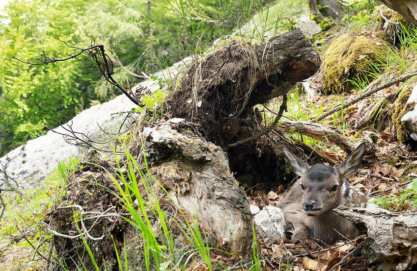 Nei primi giorni di vita i cerbiatti di cervo si nascondono in luoghi sicuri, contando maggiormente sul mimetismo, Parco Nazionale Dolomiti Bellunesi maggio 2020