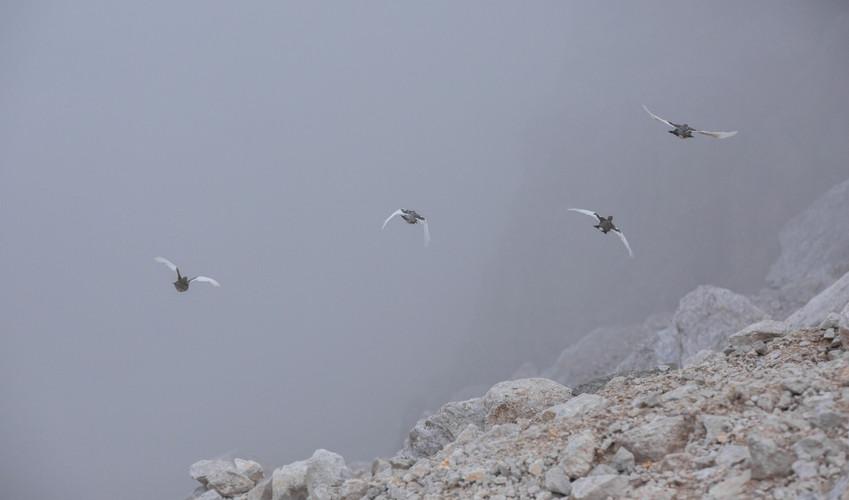 Pernici bianche in volo, Dolomiti bellunesi agosto 2015