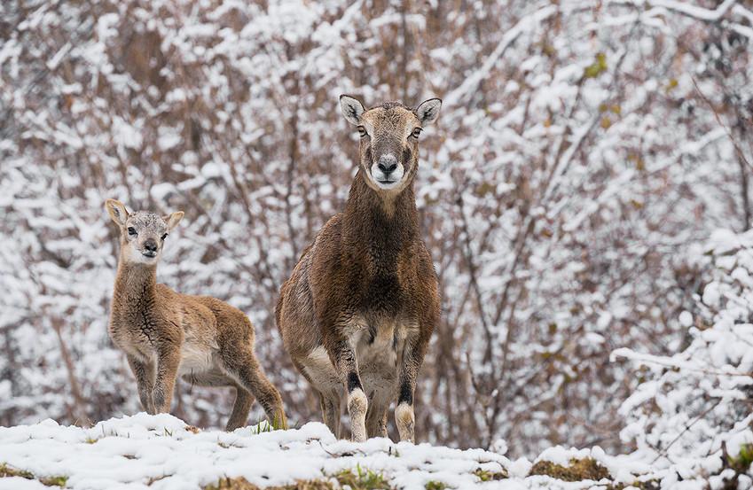 Arriva la primavera e per il muflone è tempo di nascite, Valbelluna marzo 2016