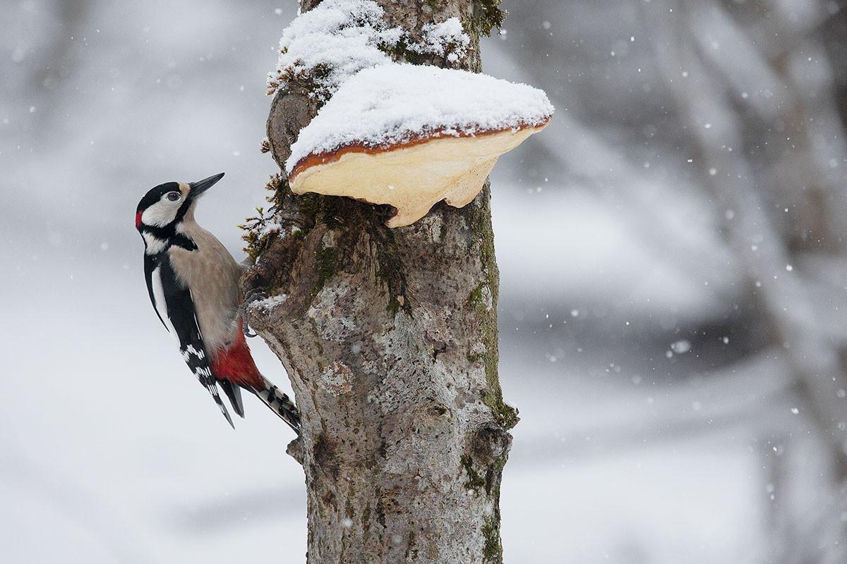 Con l'arrivo dell'inverno il picchio rosso maggiore intensifica la ricerca del cibo, Dolomiti bellunesi gennaio 2015