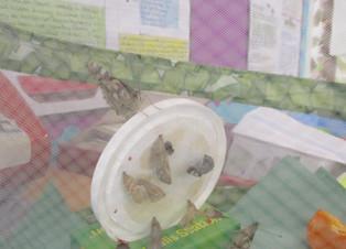 Barn owls' Butterflies