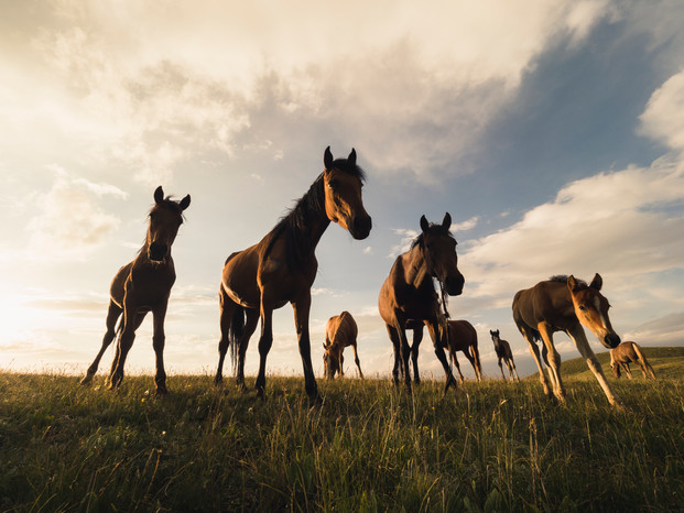 A drove of horses inspecting what the camera is doing in Tupar-Kul (Matt Horspool)