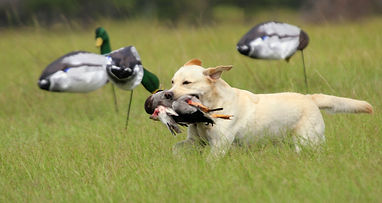 Murph with duck and decoysa.JPG