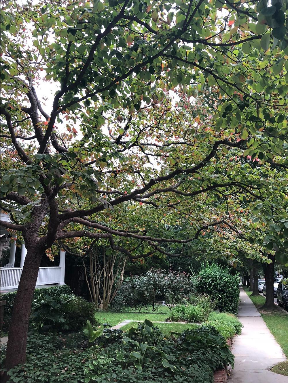street-dogwood-mature.jpg