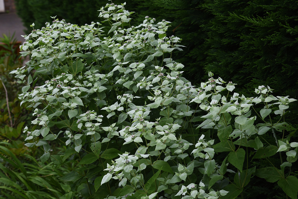 native mountain mint