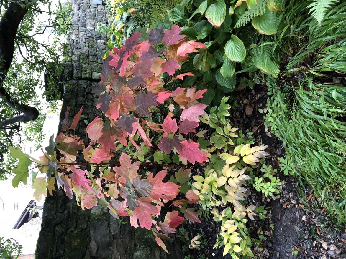 Oak Leaf Hydrangea - Autumn