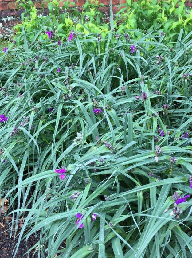 Native Plant: Spiderwort