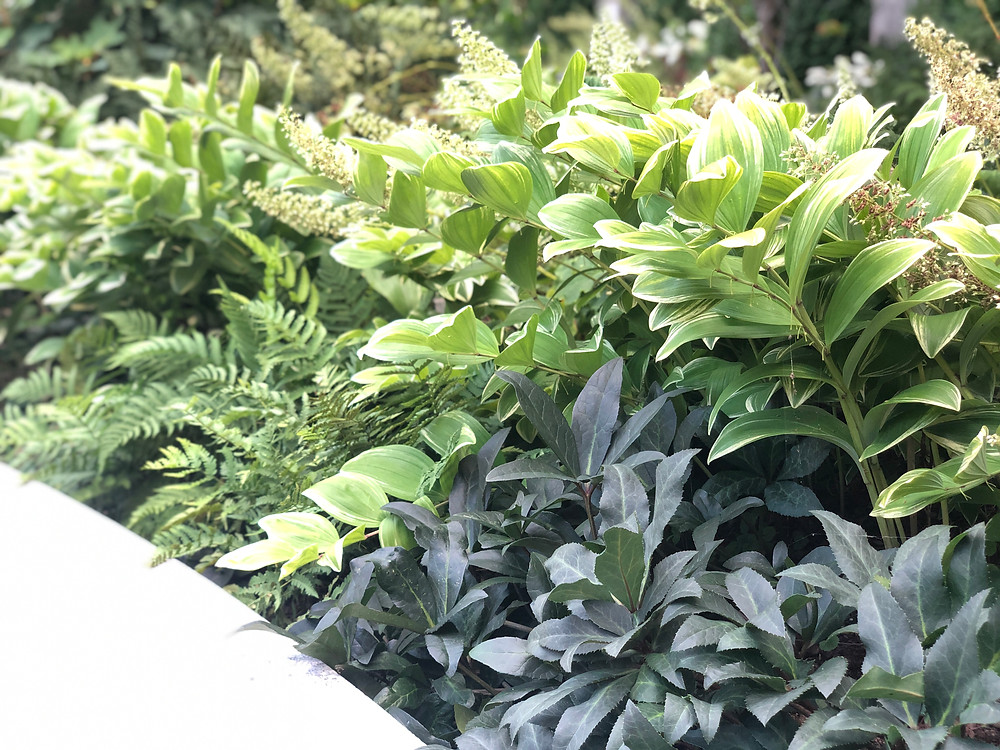 variegated solon's seal and lenten rose