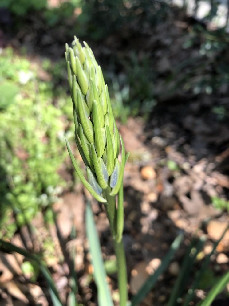 Native Camassia bud