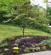 Native Oak Tree with Plantings