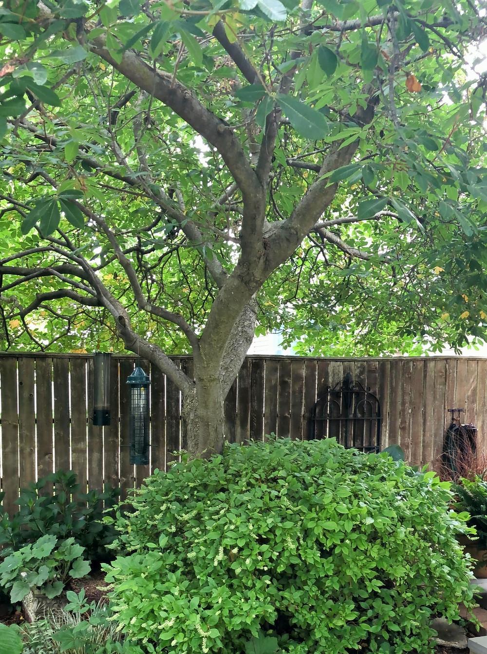 swamp chestnut and itea shrub