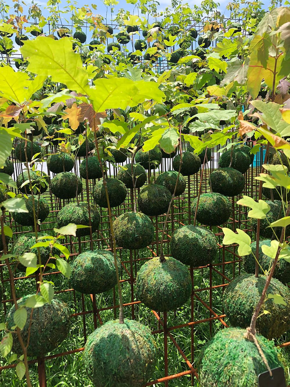 native tree saplings in kokedama