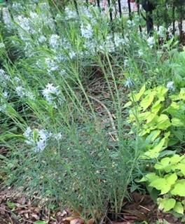 Amsonia Hubrichtii in Spring