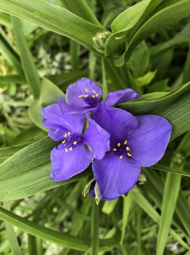 Spiderwort flower closeup