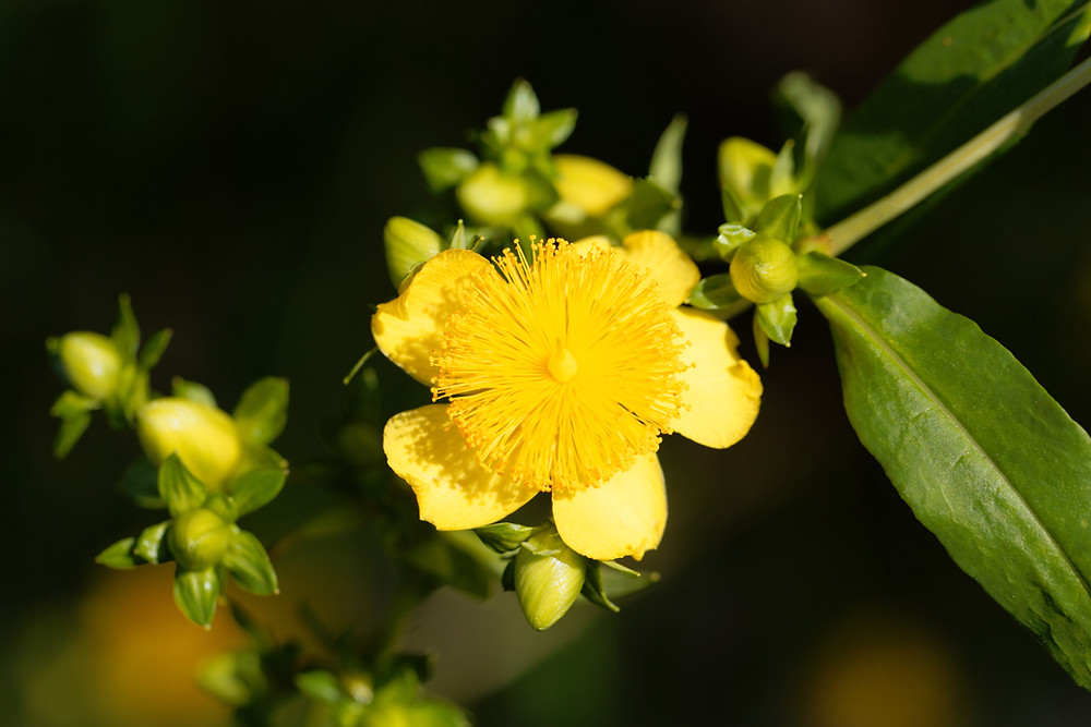 native st. john's wort bloom