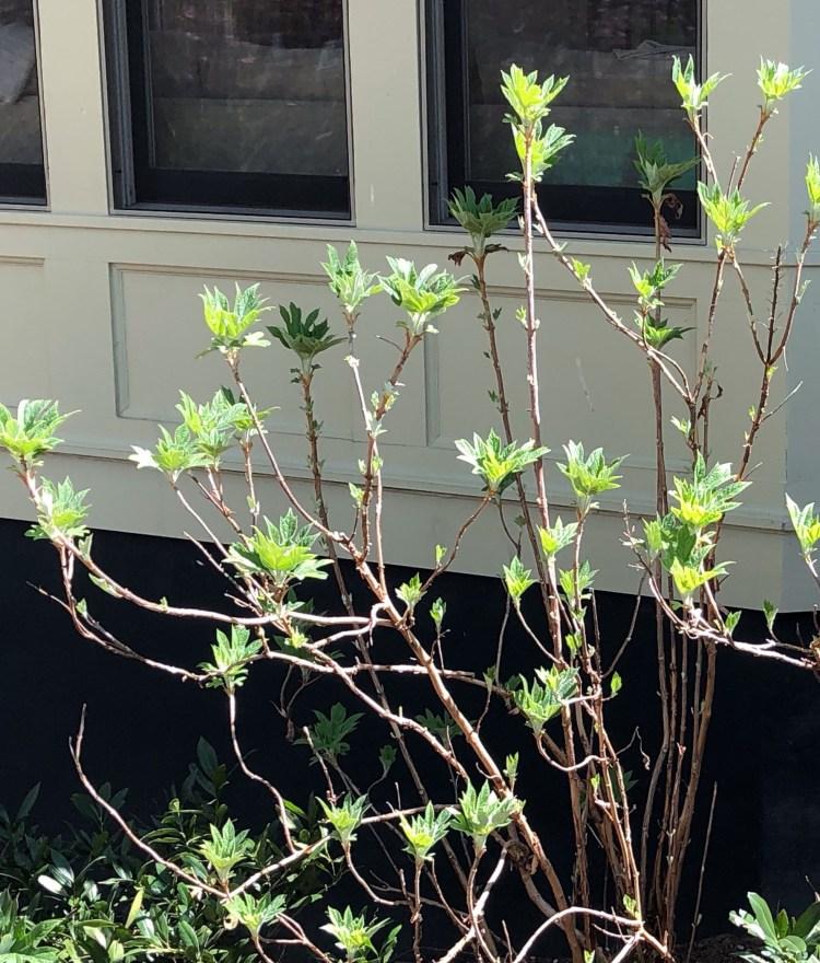 Oak Leaf Hydrangea - Spring