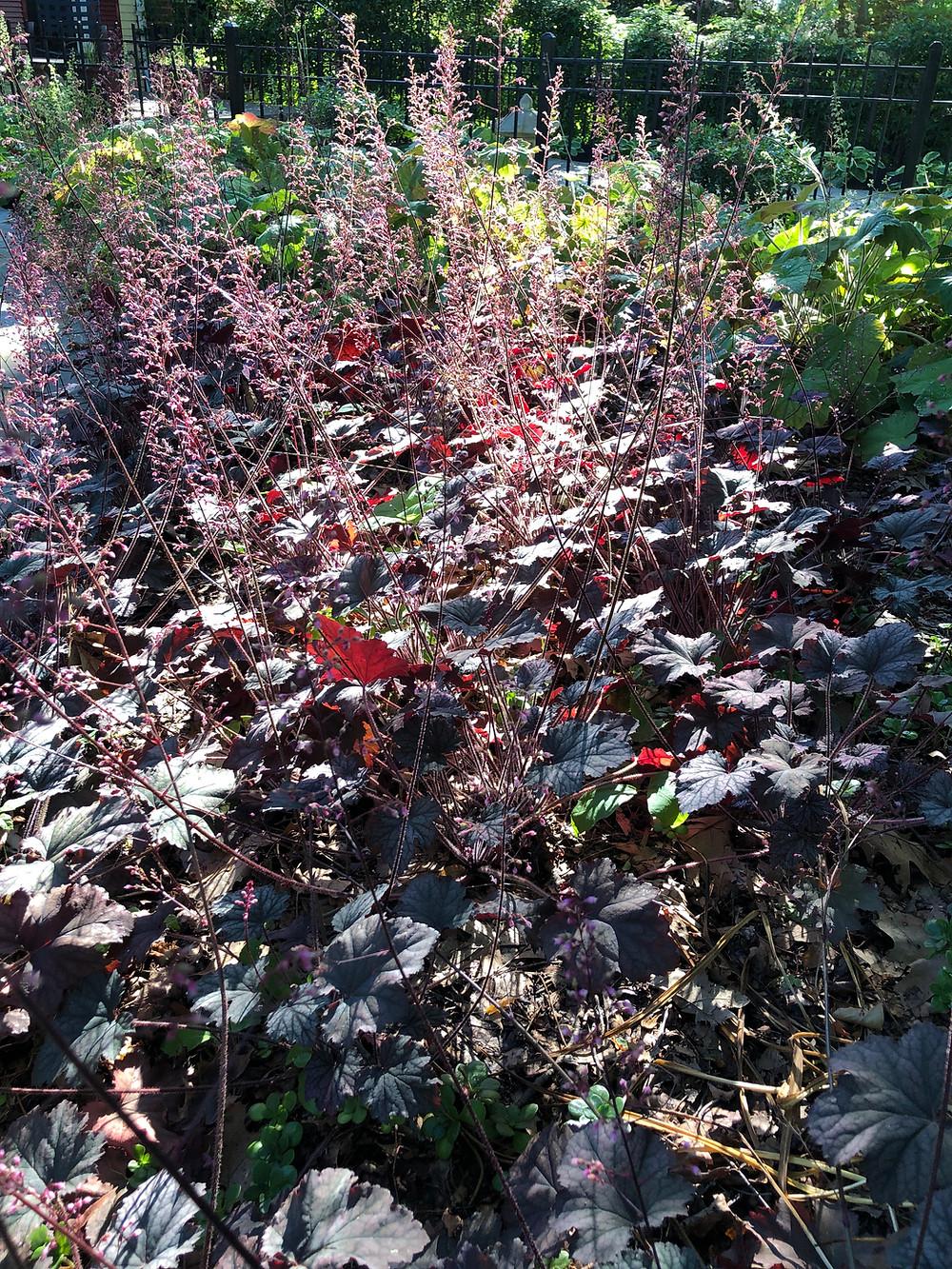native cultivar heuchera 'frosted violet'