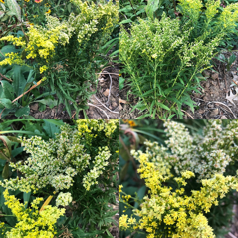 little lemon goldenrod