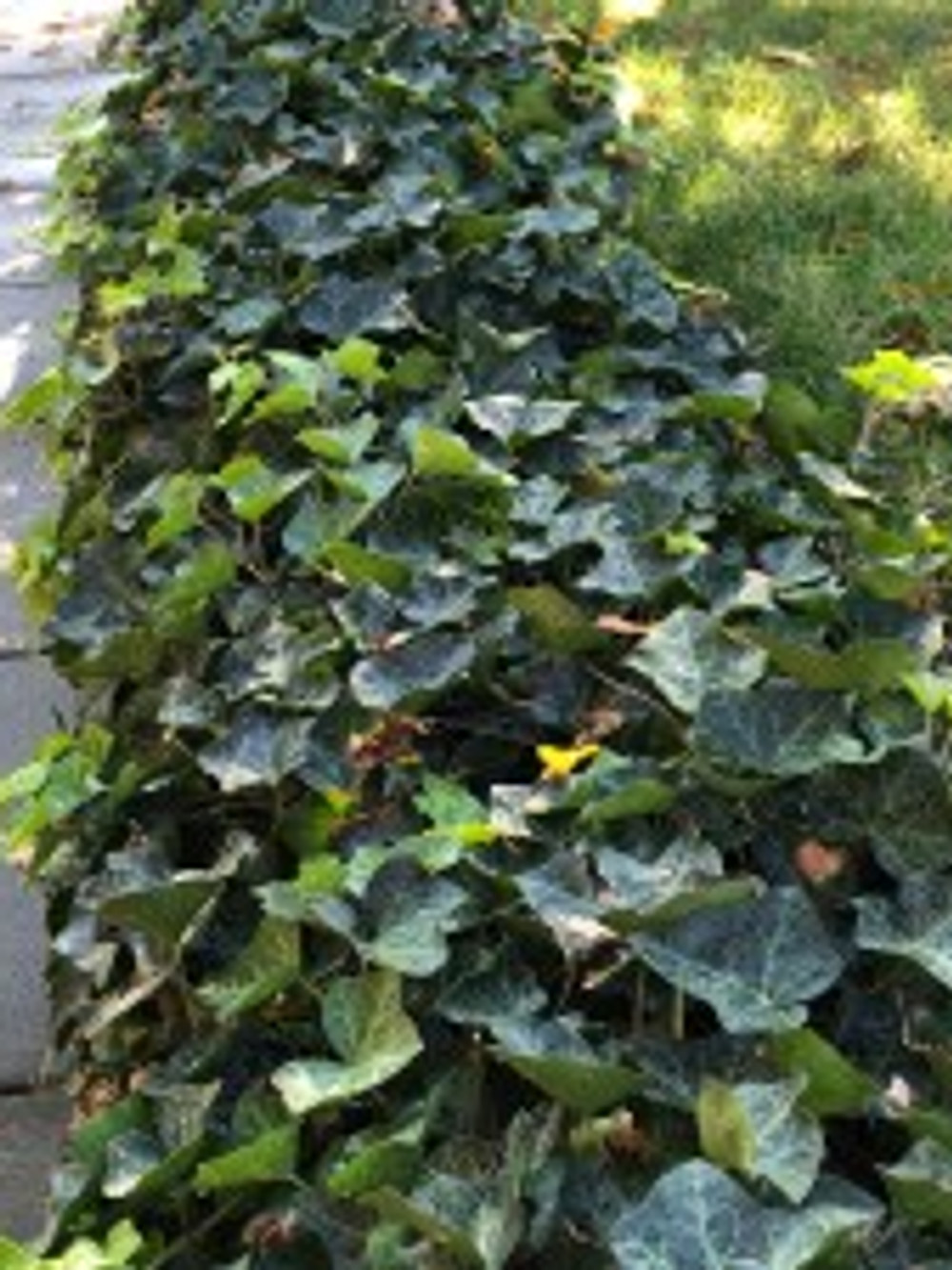 English ivy, neat and trimmed