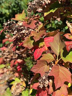 oakleaf beginning to turn color.jpg