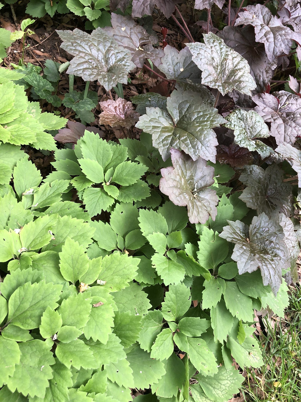Native pachysandra and a coral bells cultivar