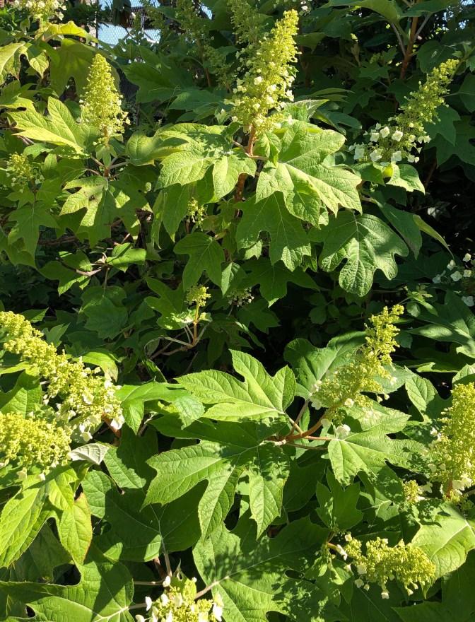Oak Leaf Hydrangea - Summer